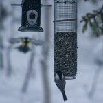 Linnut syömässä